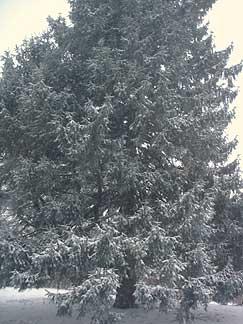 Snowy_fir