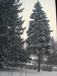 Snowy_fir_2